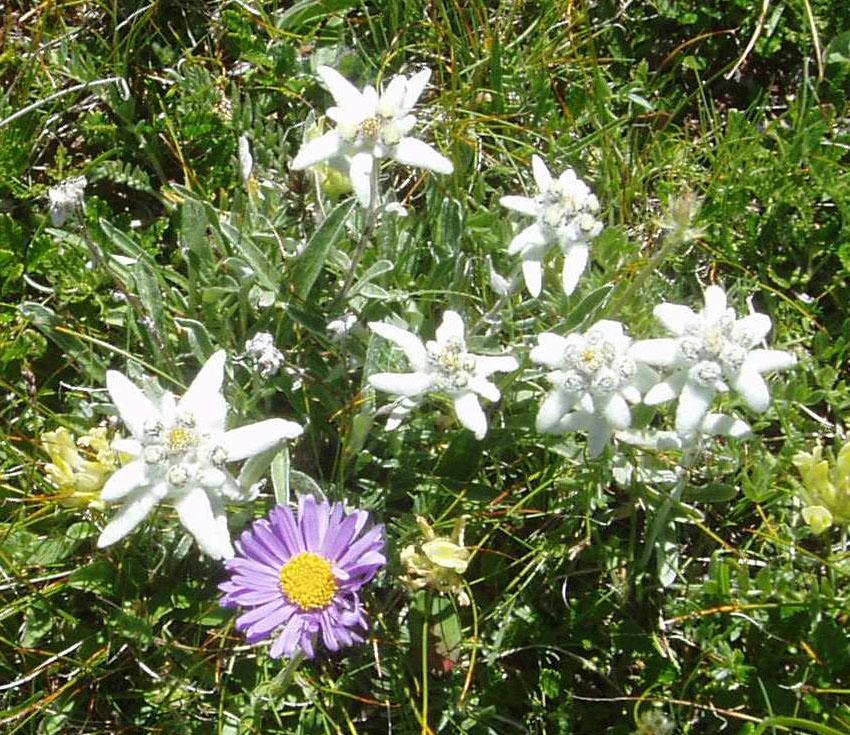 fiori montagna