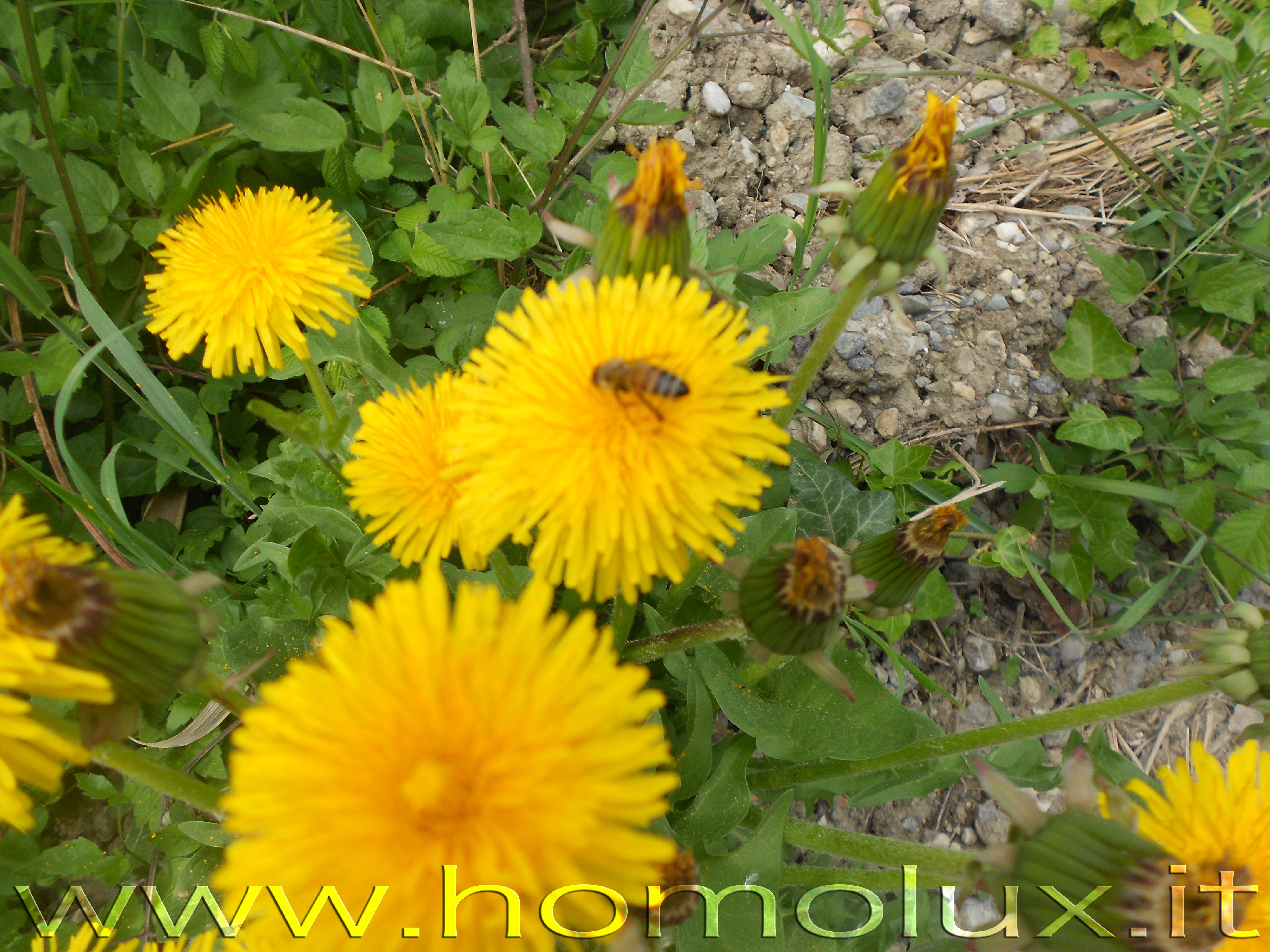 ape su fiore di tarassaco