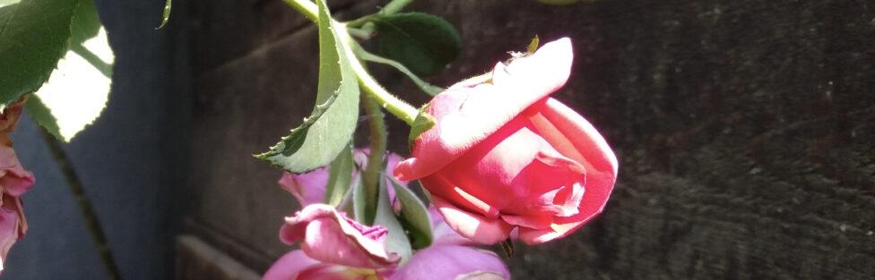 fiore appassito